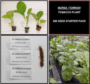 Bursa / Turkish Oriental Tobacco Seeds